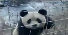 野生大熊猫现身 河边漫步好悠闲
