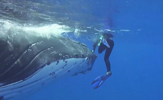 暖心!座头鲸为救潜水员将其藏到鳍下