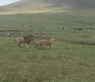 厉害了!坦桑尼亚小狗吠叫撕咬吓退雄狮