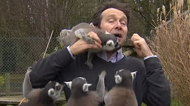 """欢乐!BBC记者动物园做报道被狐猴""""围困打劫"""""""