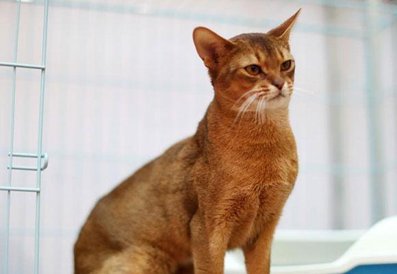 济南举办名猫展 最贵宠物猫身价高达20万元