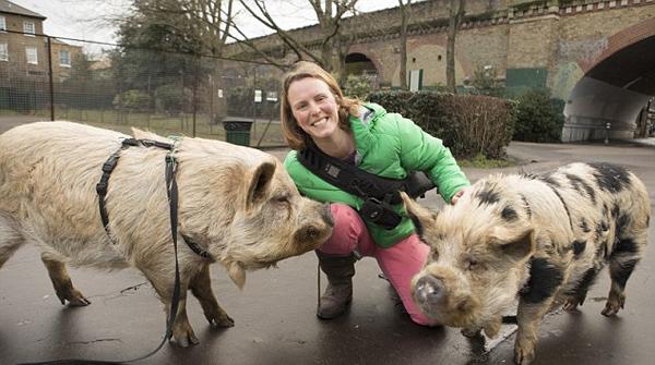 伦敦女子养两头明星宠物猪 曾上电视拍相亲广告