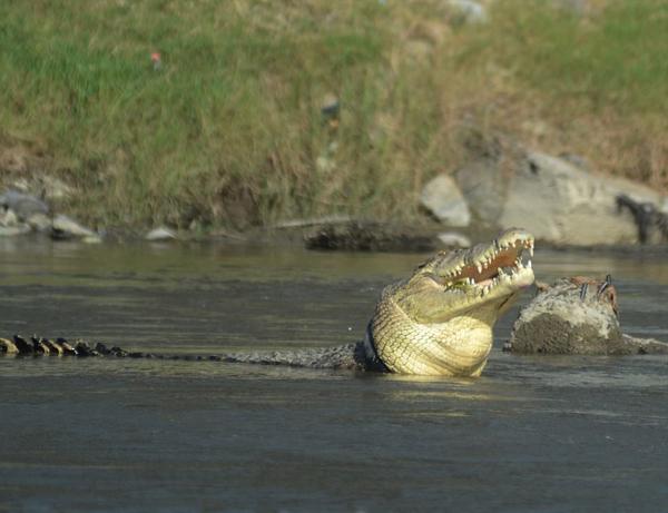 """印尼河中一鳄鱼戴轮胎""""项圈""""长达两年"""