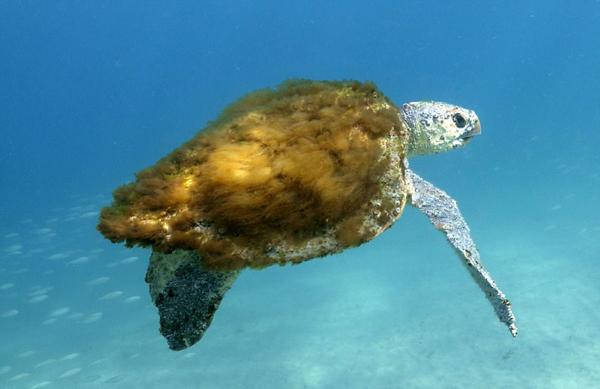 可爱!澳海龟背部长海藻 毛茸茸似披大衣