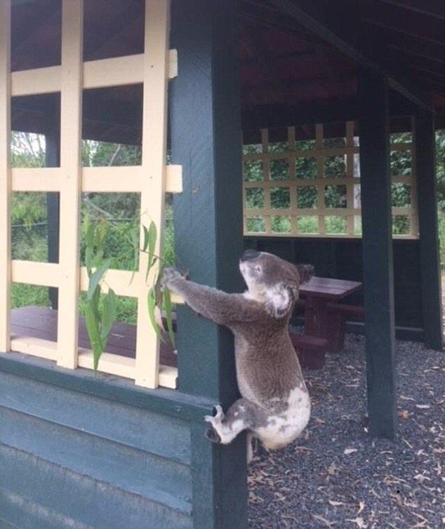 澳考拉被钉公园木柱上 虐待动物行径令人发指