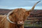 母牛牛角倒长似蓝牙耳机