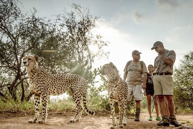 """南非仨猎豹""""兼职""""当导游 带游客散步游玩"""