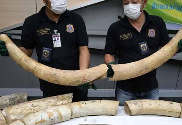 泰国查获148公斤走私象牙 价值逾300万人民币