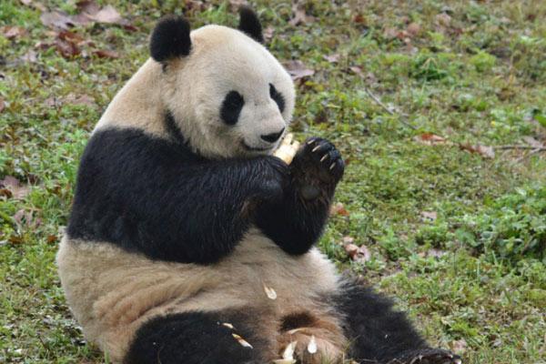 这也太幸福了吧 躺着吃的终极梦想大熊猫帮你实现了