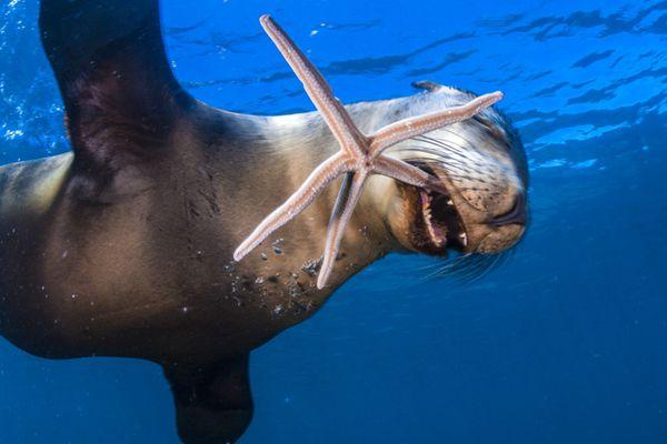 海狮叼着海星玩起杂耍 实力演绎开心到飞