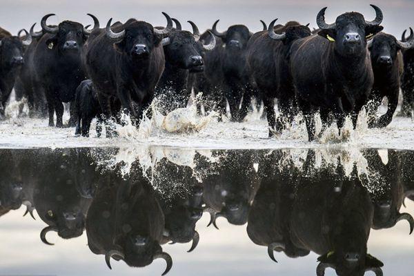 """匈牙利120头水牛有序""""搬家"""" 浩浩荡荡似拍大片"""