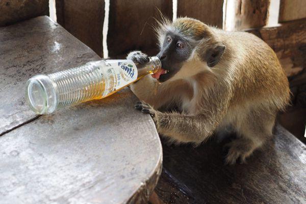 """冈比亚长尾猴把餐馆当家 喝免费汽水毫不客气简直成""""精"""""""