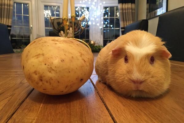 可爱小豚鼠肉乎乎圆滚滚 模样似土豆网友大呼傻傻分不清