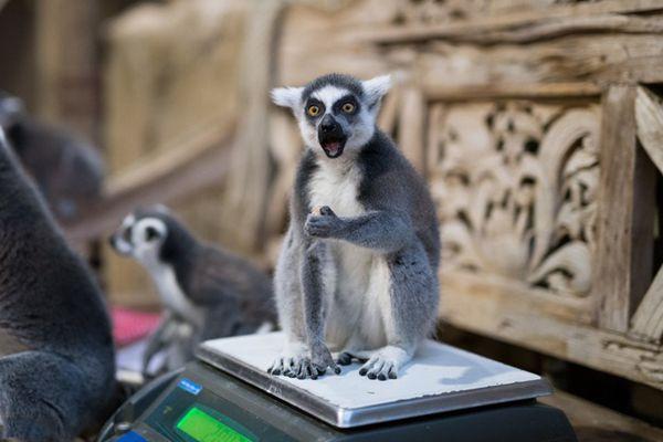 德动物园进行年度清点 狐猴称体重一脸震惊