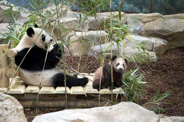 """旅法熊猫宝宝""""圆梦""""正式与公众见面 帮妈妈拿竹子超乖巧"""
