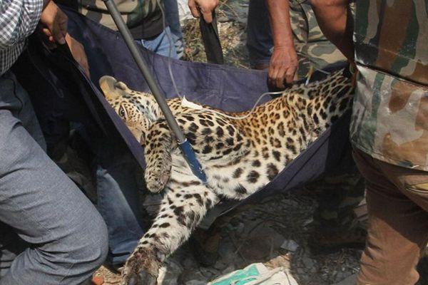 印度猎豹闯居民区 4小时伤6人后被麻翻