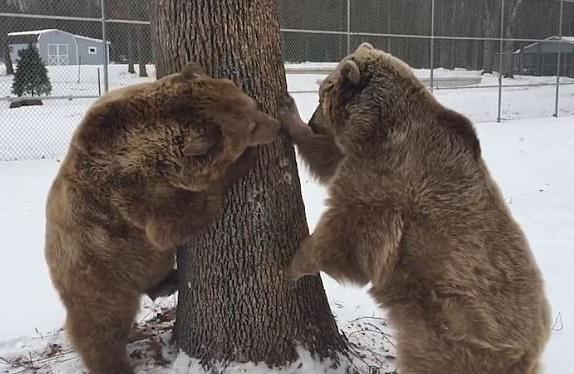 两熊为一棵树在雪地上展开史上最懒散打架