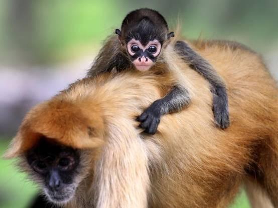 16年来首只!澳大利亚动物园迎蜘蛛猴宝宝降生