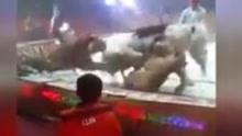 马戏团排练出意外 狮子撕咬白马不放