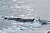 澳鳄鱼惊现海滩大快朵颐食用隆头鱼尸体