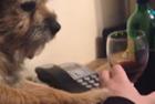 """狗狗""""出手""""劝止主人喝酒"""