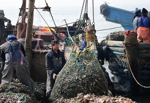 胶州湾牡蛎大丰收 两元一斤小贩排队抢购