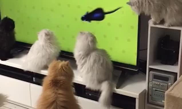 呆萌十足!十只猫咪围观电视里老鼠奔跑