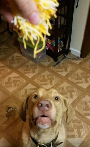 """美搜寻犬""""秒""""吃撒落奶酪堪称""""奶酪收割机"""""""