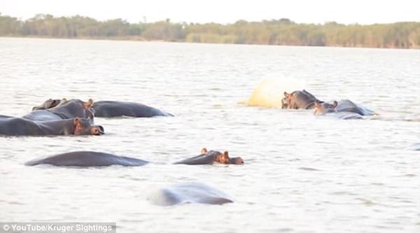 南非冒失牛鲨单挑蛮横河马遭狂殴险丧命