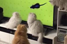 十只猫咪围观电视里老鼠奔跑