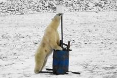 俄好奇北极熊在监视器下超萌自拍
