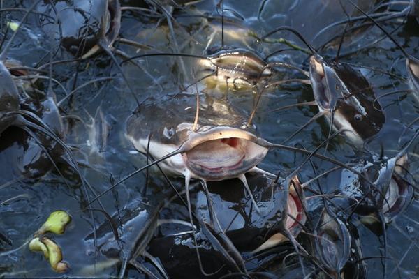 印度吉申格尔湖面波动 一群野生鲶鱼水面翻涌