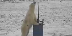 北极熊发现摄像机开始自拍