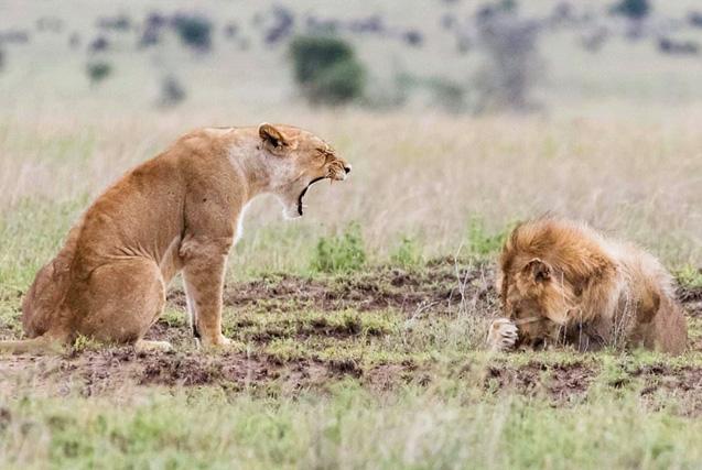 丛林之王怕老婆!非洲雄狮被雌狮怒吼 颜面扫地