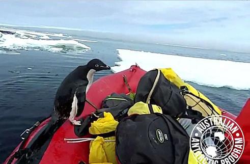 走错了?南极呆萌企鹅越出海面误上科考船