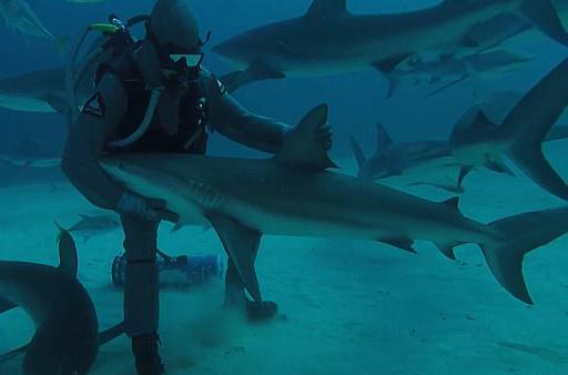 有爱!潜水员巴哈马群岛水域不惧危险亲抚鲨鱼