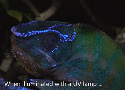 """科学家发现""""阿凡达""""蜥蜴 紫外线下发光"""