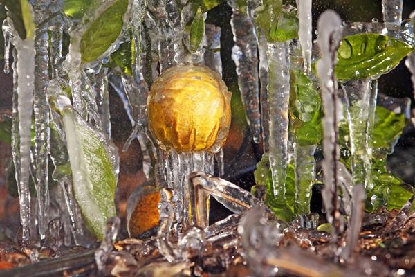 冰晶森林! 美国农民为柑橘喷水结冰防霜冻