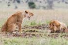 雄狮被雌狮怒吼颜面扫地