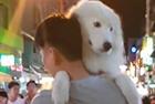 越南大狗被主人抱着逛街