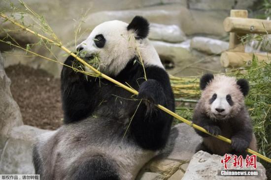 旅澳大熊猫福妮现怀孕迹象 动物园或迎熊猫宝宝