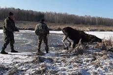 驼鹿被困冰湖中遇险警察救助