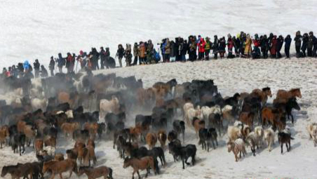 锡林郭勒进行套马驯马表演 万马奔腾场面壮观