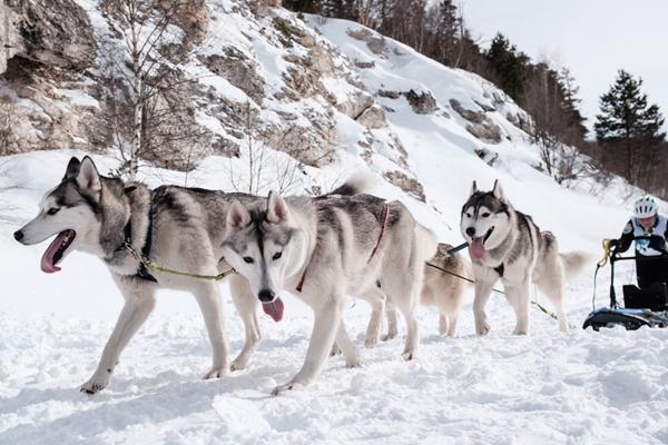 俄罗斯南部举办狗拉雪橇大赛 哈士奇展现实力