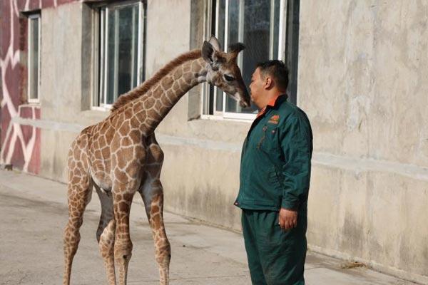 """大连森林动物园长颈鹿添新丁 饲养员充当""""奶爸"""""""