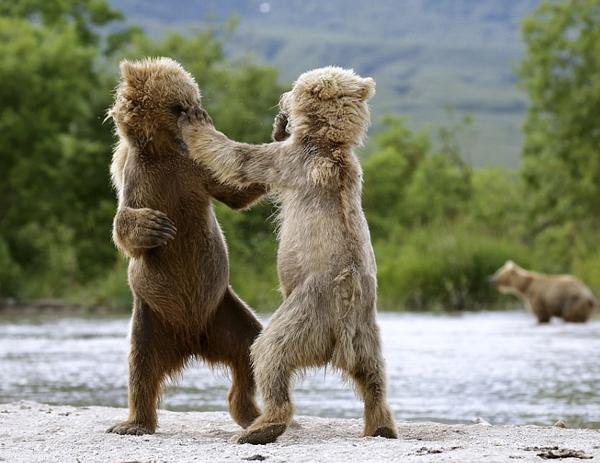俄两幼熊嬉闹搏斗 活力满满如职业拳击手