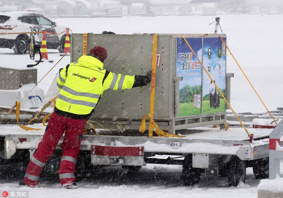 媒体:大熊猫雪中抵达芬兰开启15年驻外生活