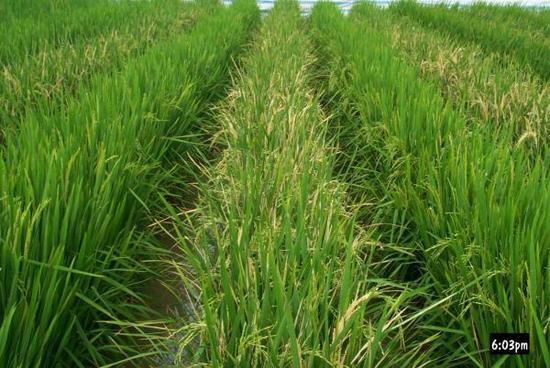 媒体:中国转基因抗虫水稻获美国食用许可历时五年
