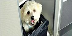 宠物猫狗可伴主人坐飞机 统一收费800元每只
