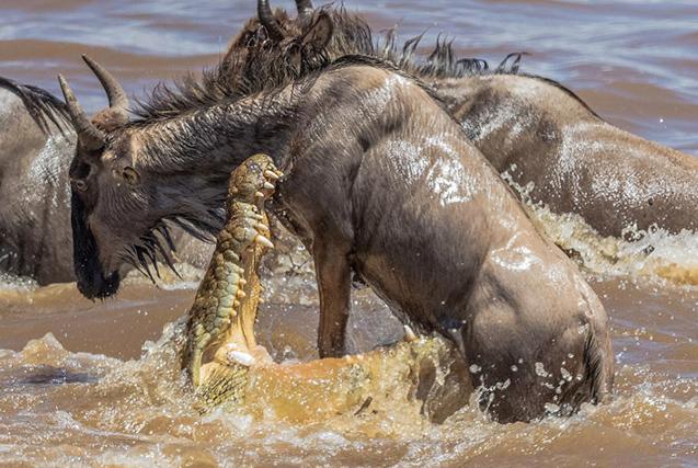 肯尼亚角马被鳄鱼跟踪捕杀 吊半空撕咬